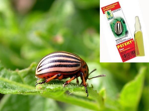 «Регент» от колорадского жука