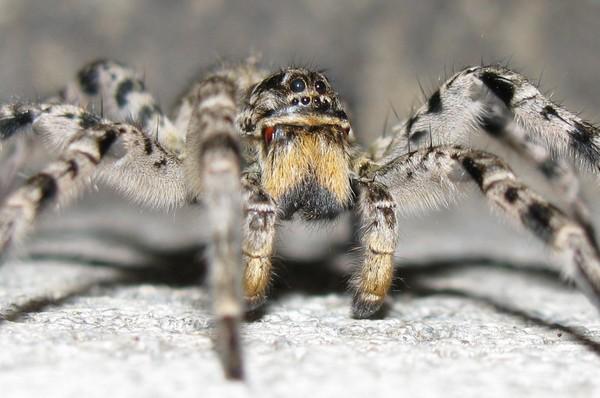 Самый крупный паук в России