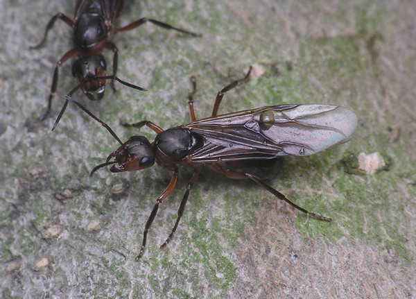 Кто такие крылатые муравьи
