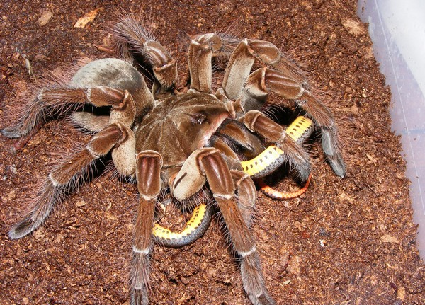Гигантский паук