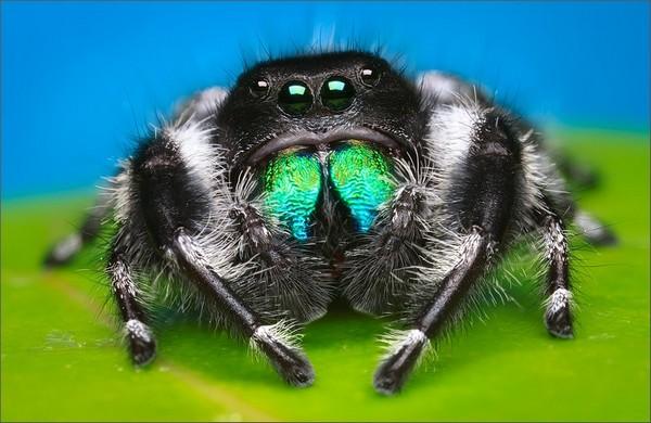 Очень привлекательный представитель пауков-скакунчиков