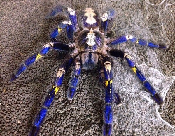 Кислотно-синий паук с желтыми вкраплениями