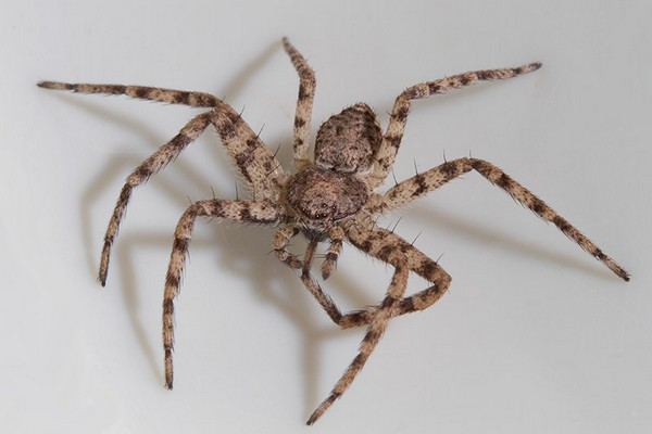 Несмотря на большое число глаз, видят пауки не слишком хорошо
