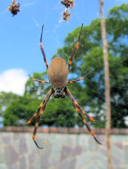 Nephila plumipes a Humped Golden Orbweaving Spider