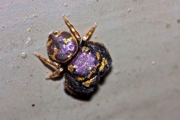 Паук с уникальным фиолетово-золотым окрасом