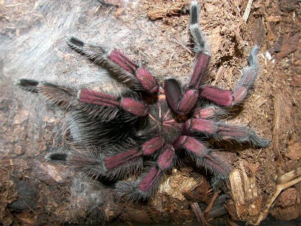Фиолетовый паук с черной бахромой