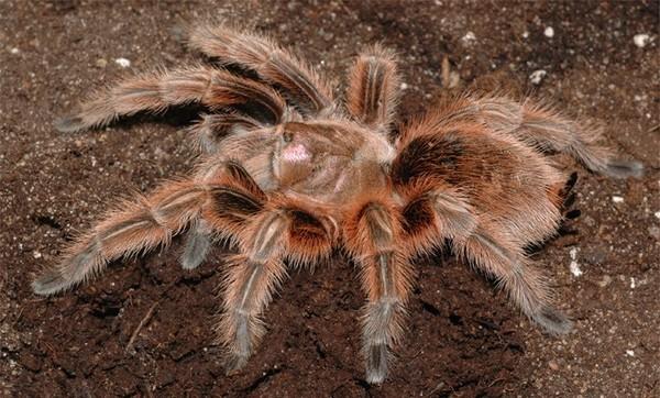 Гигантский бабуиновый паук