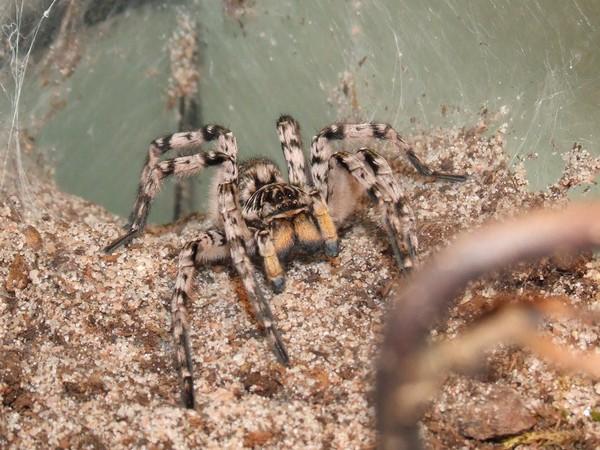 Домашнее содержание тарантула