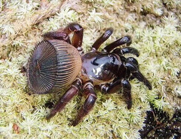 Этот паук отличается оригинальной формой брюшка
