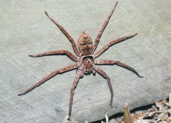 Паук-охотник или гигантский крабовый паук