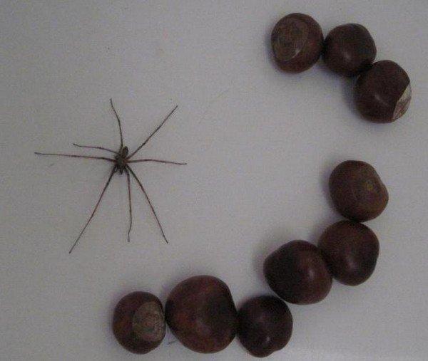 Каштан отппугтвает пауков