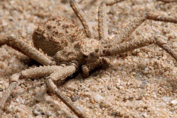 Песочный паук