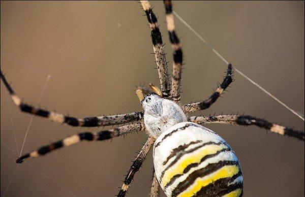 Этот вид имеет альтернативное название - паук-оса