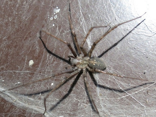 Редкий представитель паукообразных