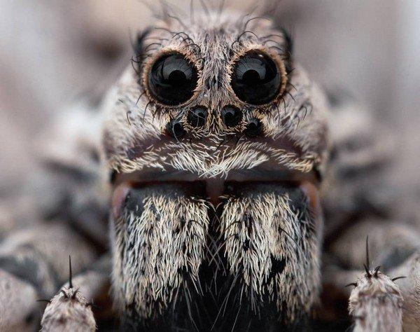Глазастый паук