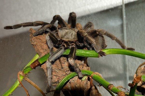 Пауки в домашних условиях: кормление, уход, размножение. Как 90