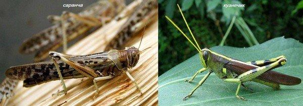 Отличие двух похожих насекомых