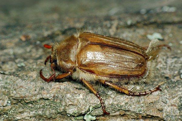 Родственник майского жука