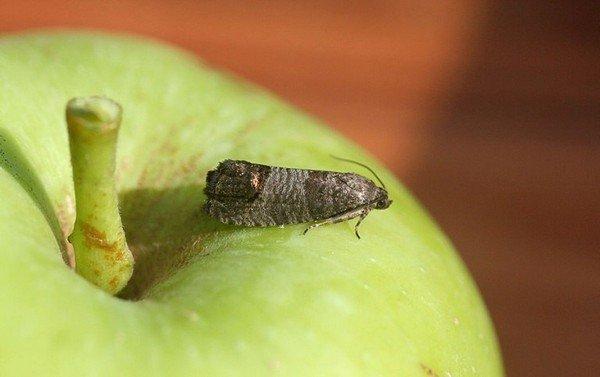 Крошечная бабочки - опасный вредитель
