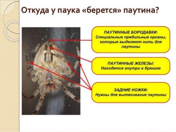 Секрет паука - в специальных органах