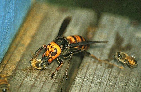 Шершень и пчелы