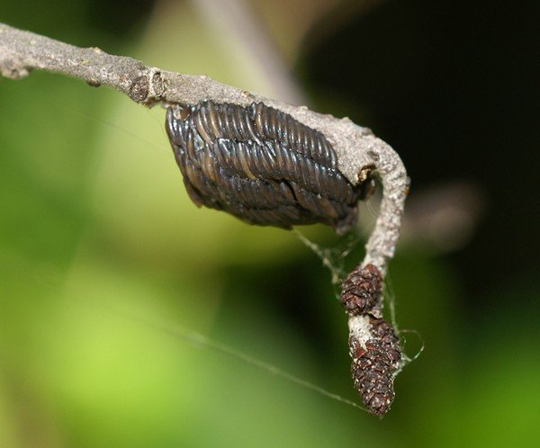 Яйца, отложенные самкой слепня