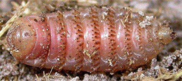 описание паразитов организме человека
