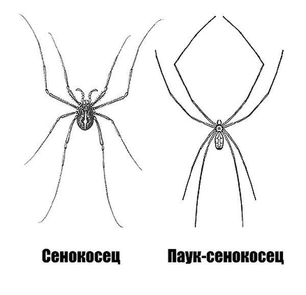 Отличие сенокосца (косиножки) и паука-сенокосца (долгоножки)