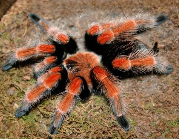 Красавец паук-птицеед