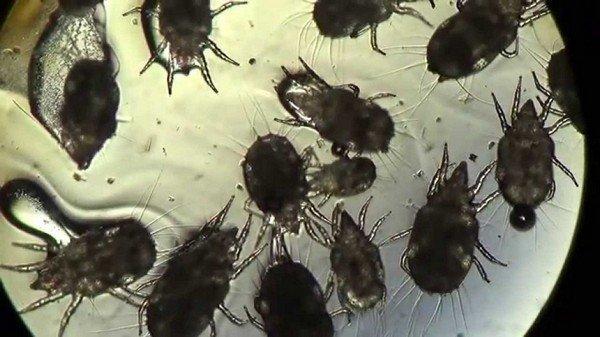 Паразиты под микроскопом