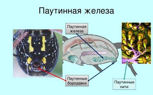 Происхождение паутинной нити