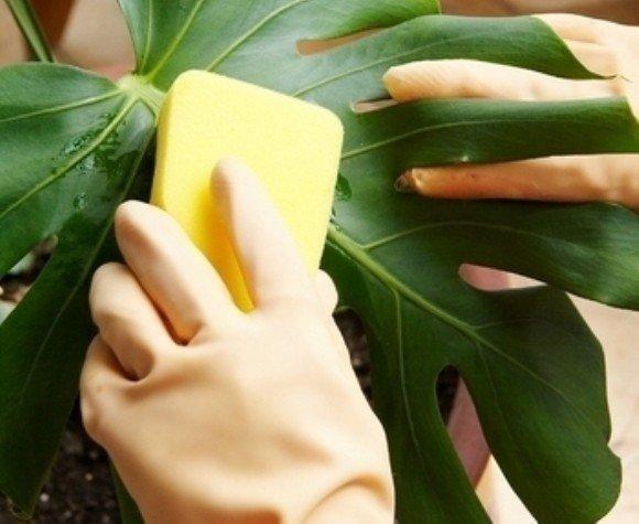 Обработка листьев от паразитов