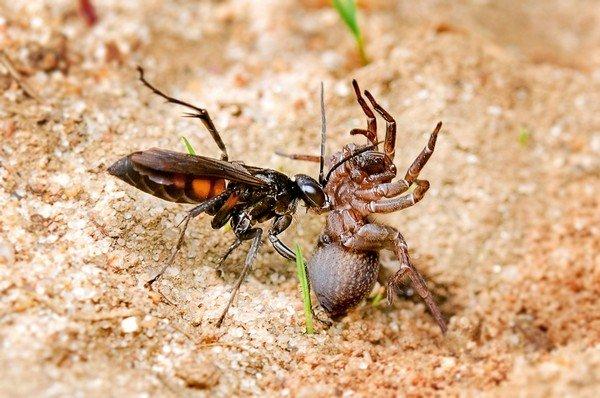 Дорожная оса и паук