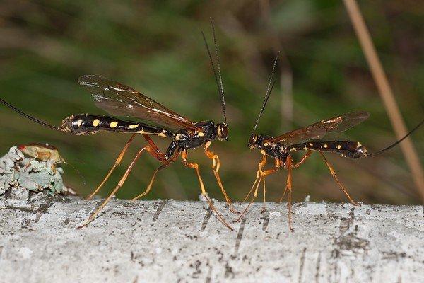 Осы-наездники опасны скорее для других насекомых, чем для человека