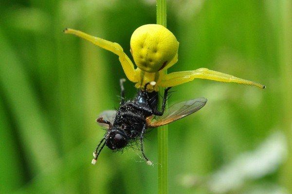 какие пауки водятся в украине фото