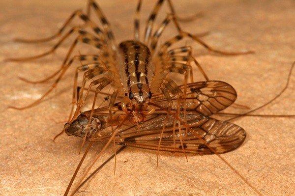 сороконожки фото насекомые