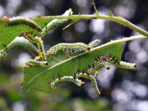 Личинки пилильщика губят растение