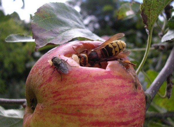 Шершень поедает яблоко