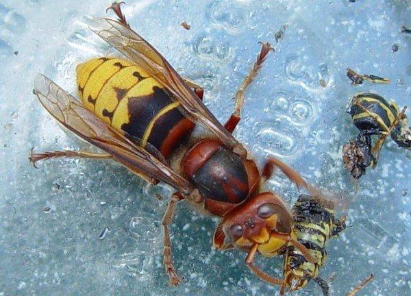 Шершень поймал пчелу