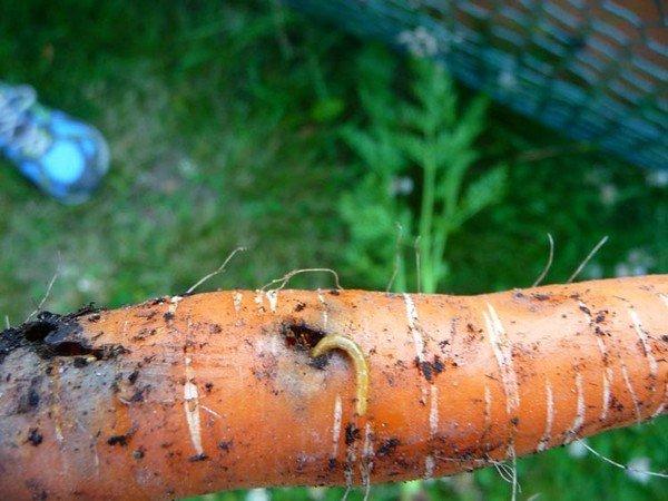 Пораженная морковь