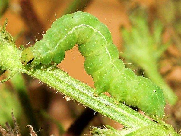 Вредитель растений