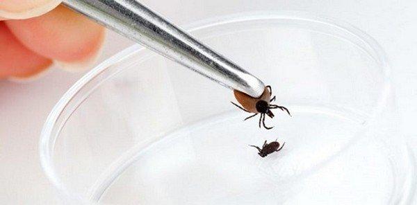 Извлеченного паразита необходимо исследовать