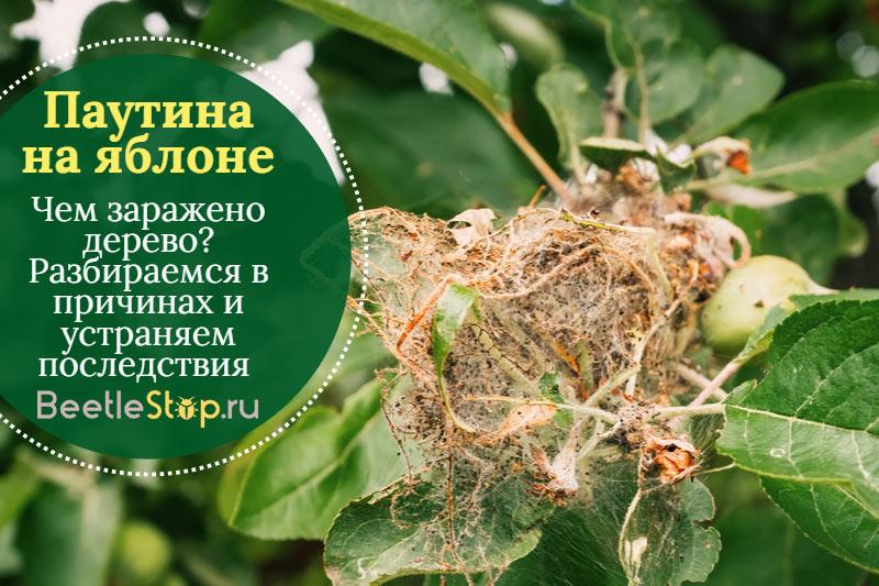 Гнездо гусениц яблонной моли