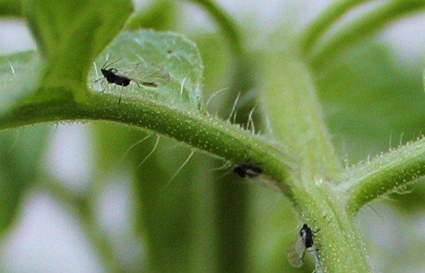 Мошки на растении