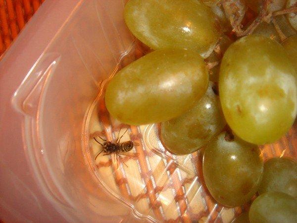 Насекомое в винограде