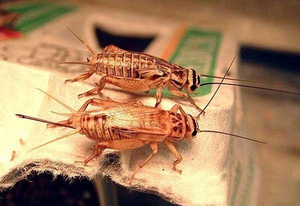 Стрекочущие насекомые