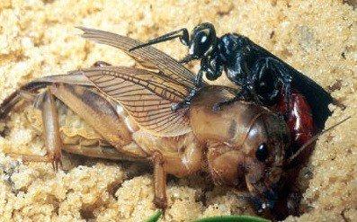 Жертвой осы стало более крупное насекомое