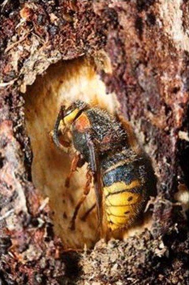 Зимующая матка осы
