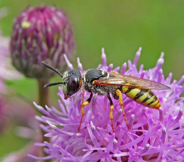 Осы уничтожают насекомых-вредителей и опыляют растения