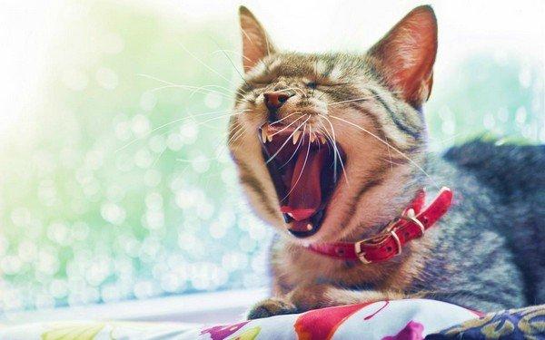 Кот зевает